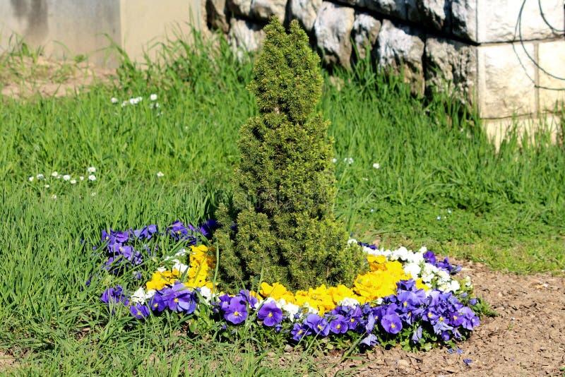 Blauwe witte en gele Wilde viooltje of Altviooltricolor kleine wilde die bloemen in cirkel rond kleine altijdgroene boom in lokaa stock afbeeldingen