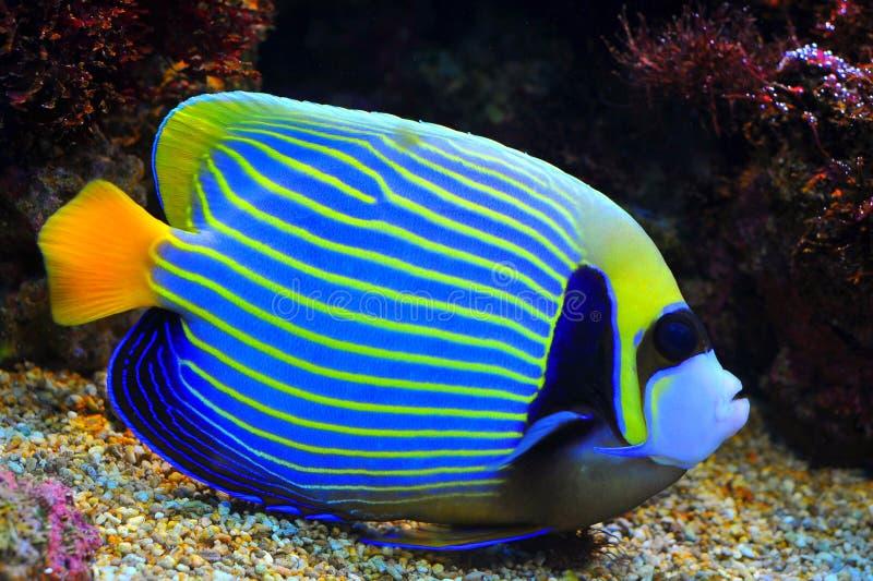 Blauwe Zeeëngel stock foto's