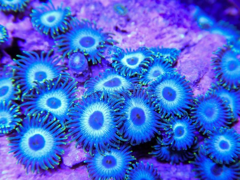 Blauwe Zoanthid-Koralen die als Strakke Kolonie groeien stock fotografie