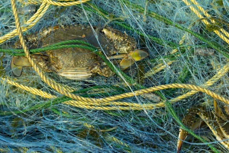 Blauwe Zwemmende die Krab in de visnetten op netto dichtbijgelegen mede wordt gevangen stock afbeelding