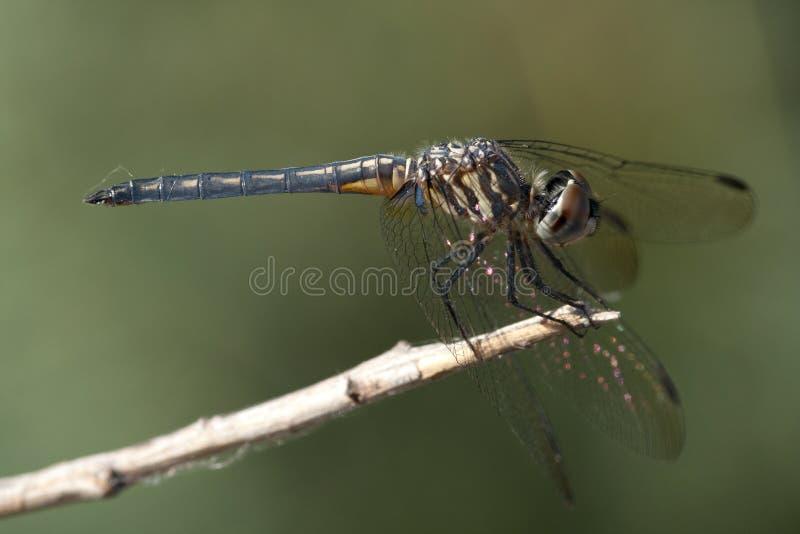 Blauwschicht, голубое Dasher, longipennis Pachydiplax стоковая фотография rf