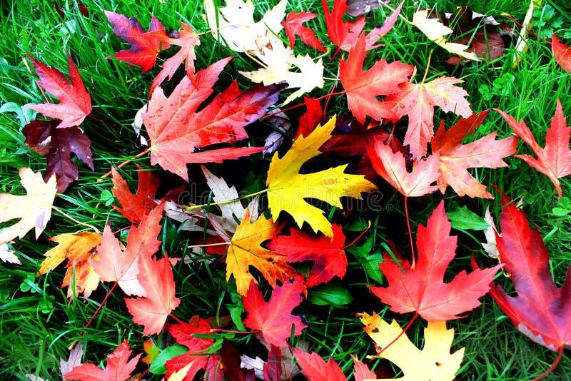 Blazing multicolor maple leaves of autumn stock image