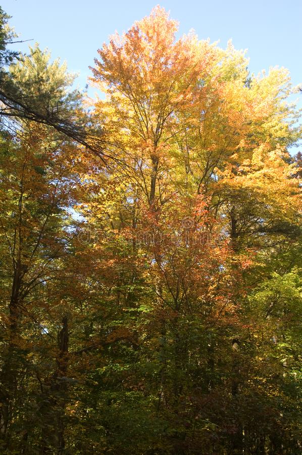 Fall foliage in Wompatuck State Park stock image