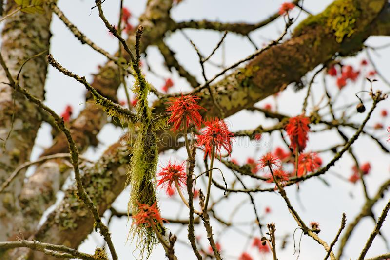 Blazing red blooms flowering on tree in Mountain Rainforest of Uganda royalty free stock photos