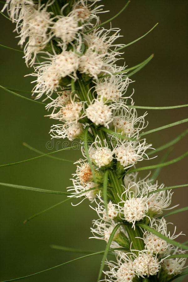 Blazing star #2. Beautiful flowers of blazing star (Liatris spicata stock photography