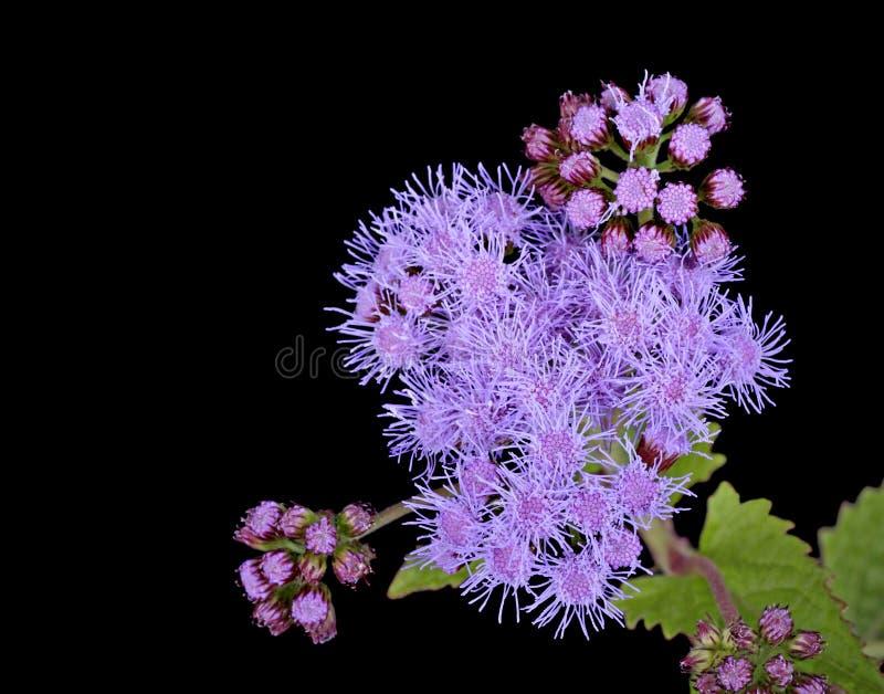 Blazing Star Flower
