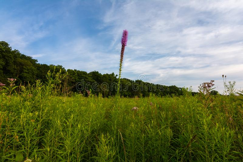 Blazing Star Wildflower. As the sun begins to set on a Summer evening.  Dixon Waterfowl Refuge, Putnam County, Illinois stock photos