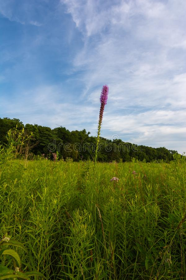 Blazing Star Wildflower. As the sun begins to set on a Summer evening.  Dixon Waterfowl Refuge, Putnam County, Illinois stock photo