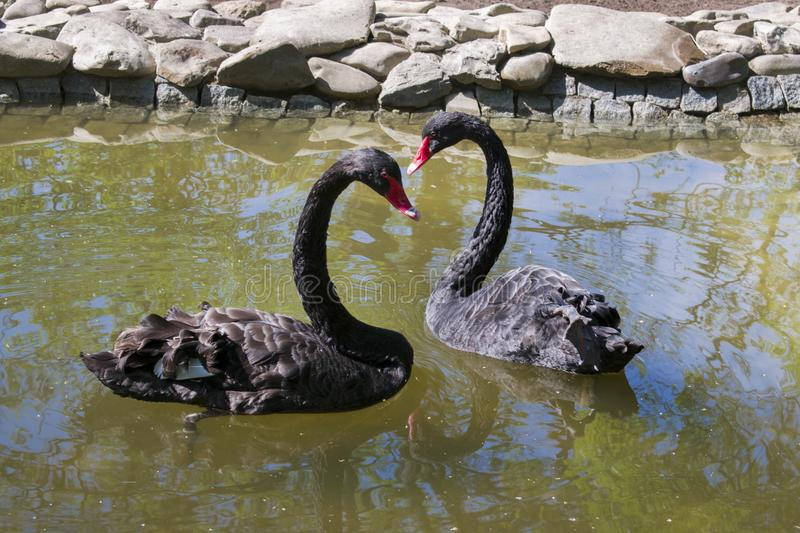 Black swans show hearts. royalty free stock photos