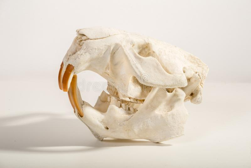 Beaver Skull. A bleached beaver skull is portrayed isolated on a light background royalty free stock images