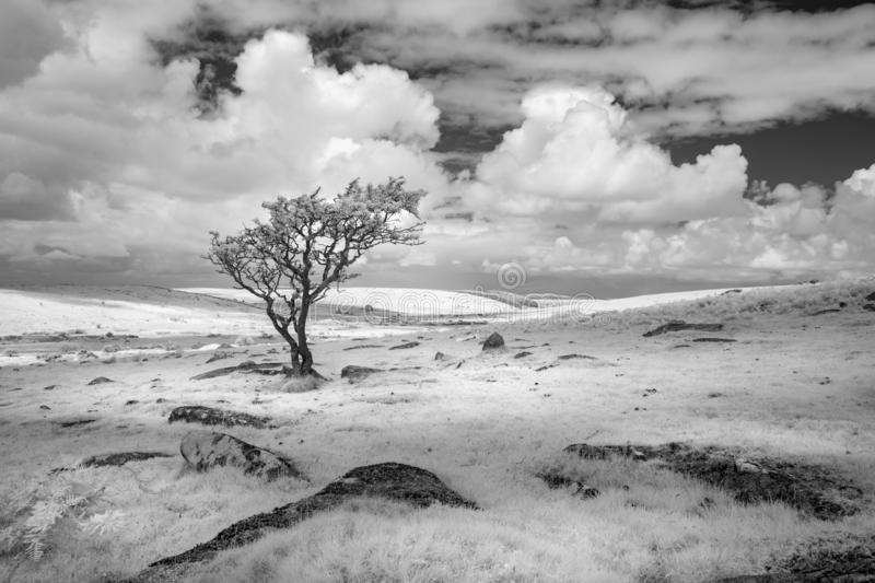 Bleak barren Landscape with lone tree, Bodmin Moor, Cornwall, UK. Captured in black and white infrared stock photo