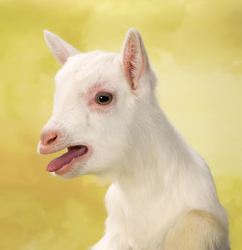 Bleating baby goat stock image