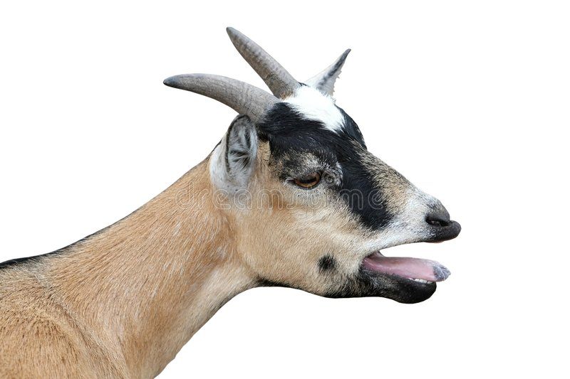 Bleating Goat Isolated royalty free stock photo