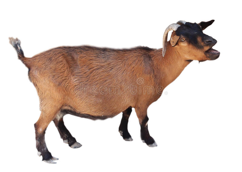 Bleating goat isolated on white. Bleating red goat isolated on white royalty free stock photography