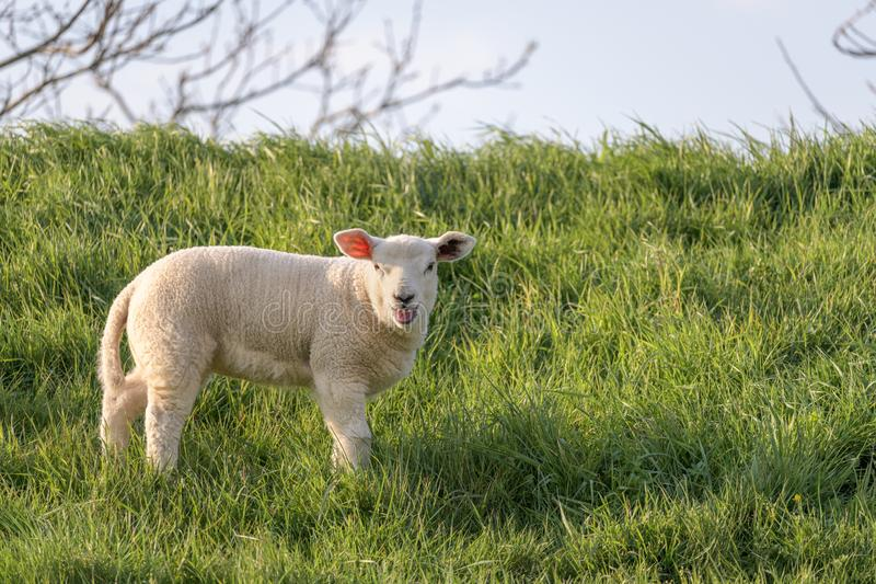 A bleating lamb stands in the grass stock photo