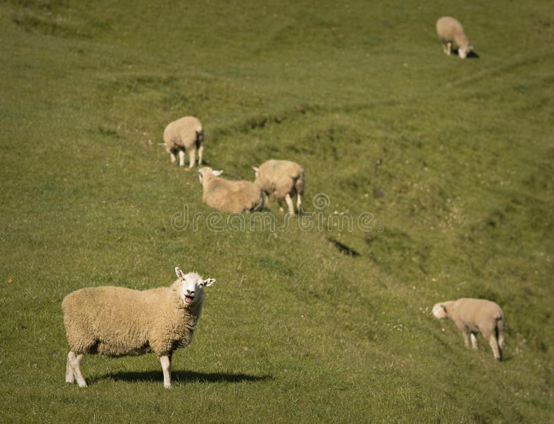 Bleating on at You stock photo