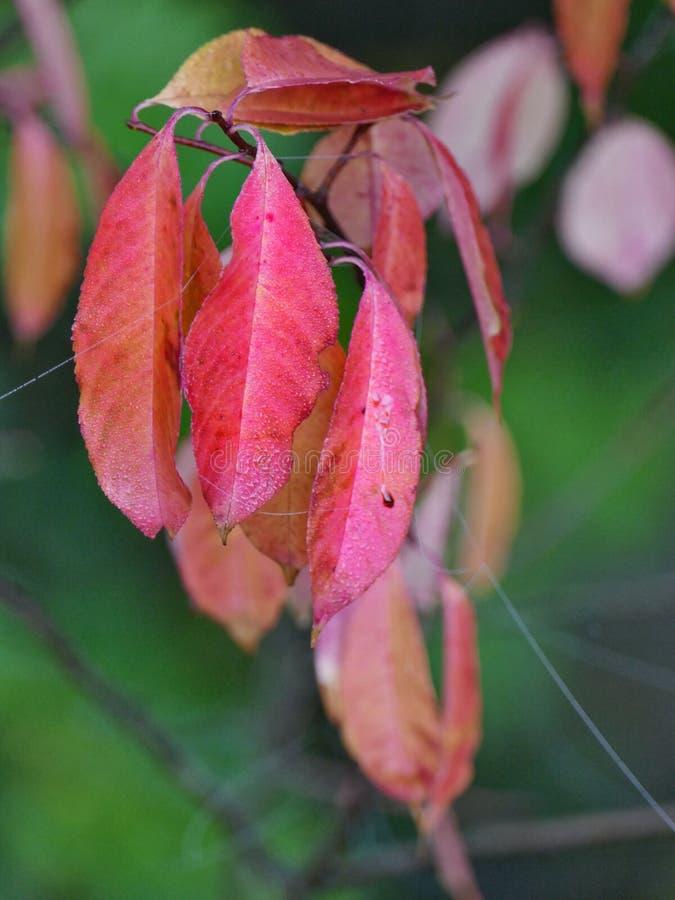 Bleeding Autumn Leaves stock images