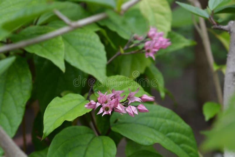 Bleeding glory-bower. Latin name - Clerodendrum thomsoniae royalty free stock photos