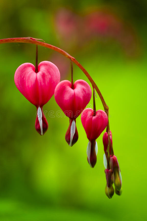 Free Bleeding Heart Royalty Free Stock Images - 32773519