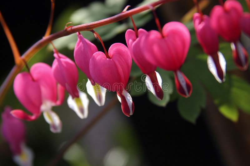 Bleeding heart royalty free stock photo