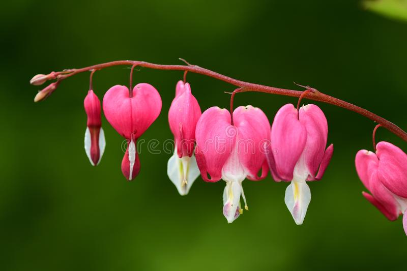 Bleeding heart dicentra spectabilis. Close up of a bleeding heart dicentra spectabilis flower in bloom royalty free stock photo