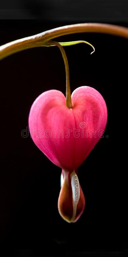 Free Bleeding Heart Flower Close-up On Black Background Royalty Free Stock Photography - 182971957