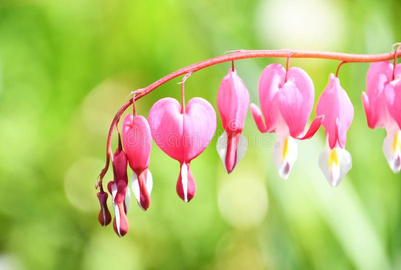 Bleeding heart flower, Dicentra spectabilis floral background. Bleeding heart flower, Dicentra spectabilis flower closeup. Bokeh green background. love symbol royalty free stock photo