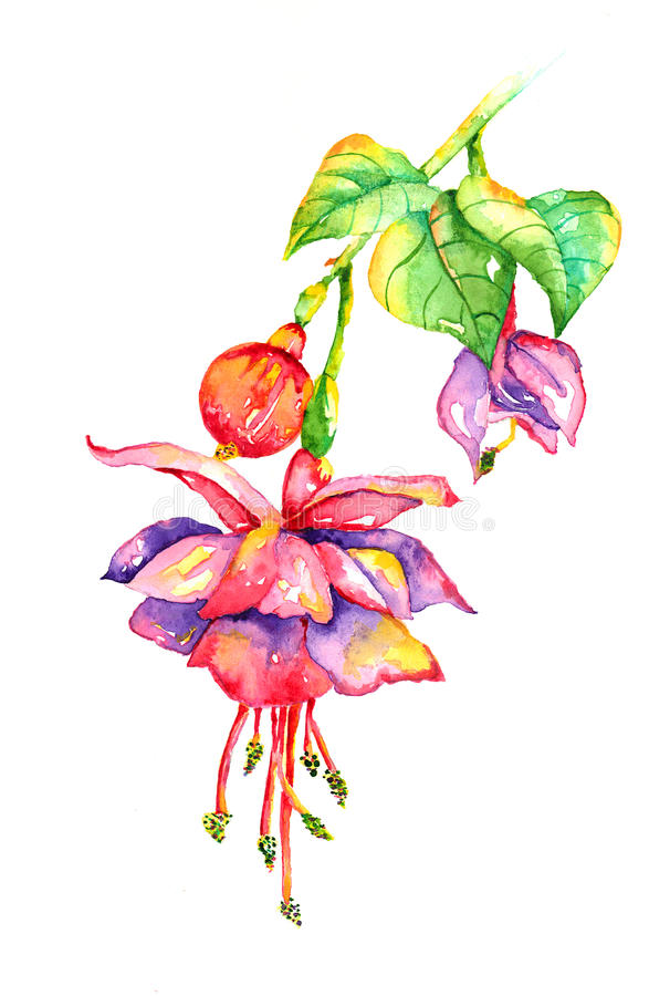 Free Bleeding Heart Fuchsia Watercolor Royalty Free Stock Photos - 60175028