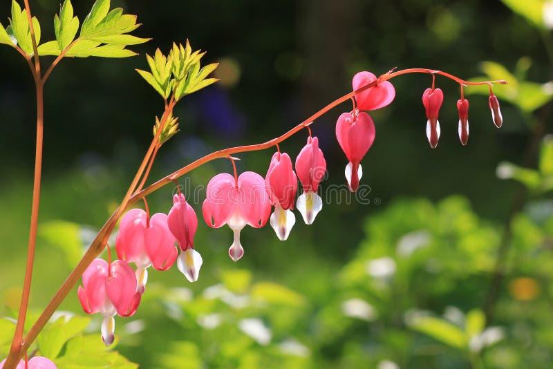 Bleeding heart, perennial herb in the garden.  stock image
