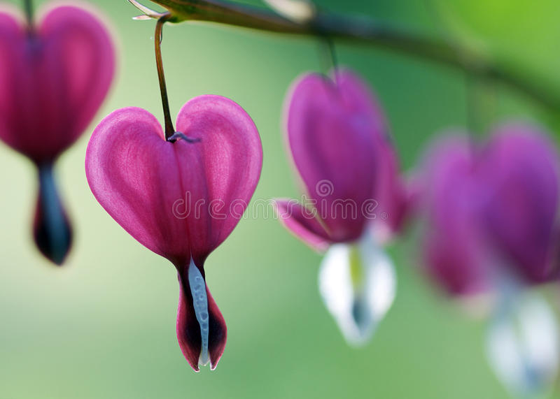Bleeding Hearts - Dicentra spectabilis. Showy spring flowers of a Bleeding Heart plant. Latin name- Dicentra spectabilis. This woodland perennial likes shade and stock photo