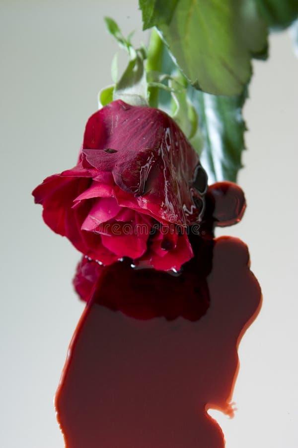 Download Bleeding rose stock image. Image of flower, bleeding, dying - 494279