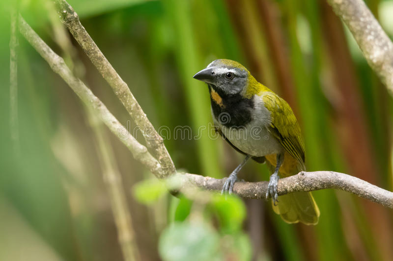 Bleekgeel-Throated Saltator stock afbeelding