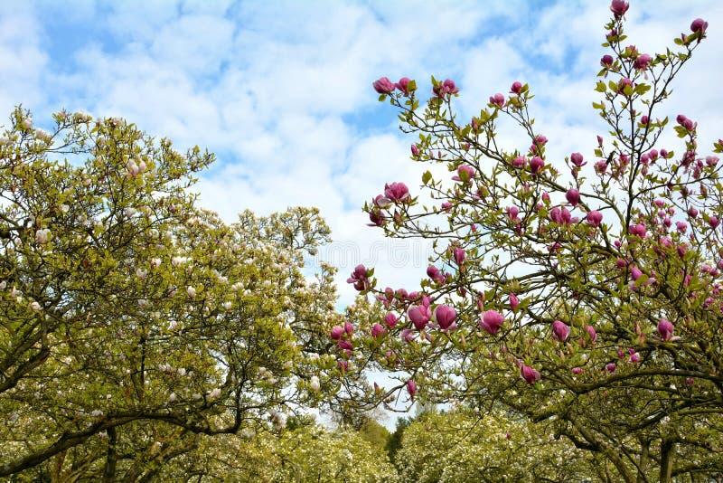 Bleekheid en roze magnoliabomen Magnoliaceae royalty-vrije stock fotografie
