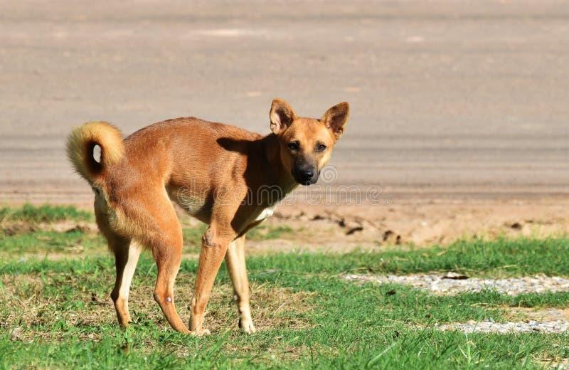 Bleiben Sie Hund nach ausscheiden auf grünem Gras neben Landstraße am Morgen stockbild