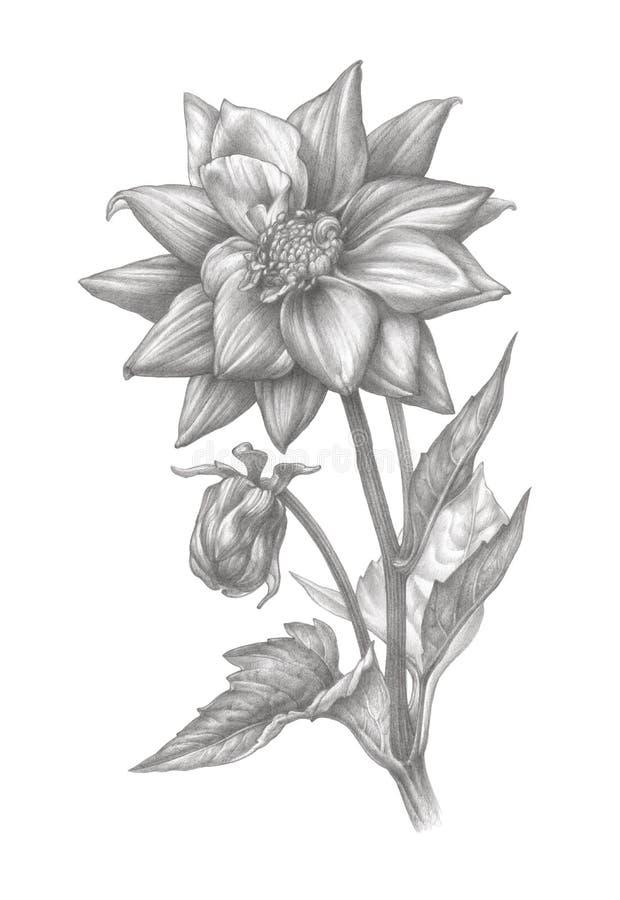 Bleistift-Zeichnung einer Dahlie lizenzfreies stockfoto