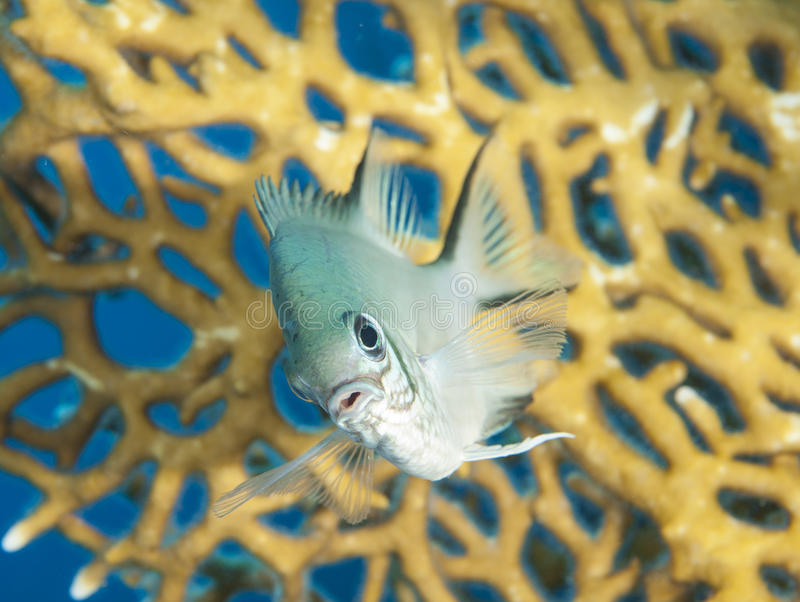 Blek damselfish på en korallrev royaltyfri foto
