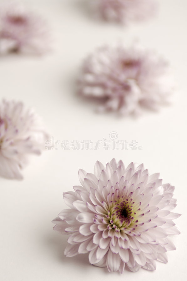 blek purple för chrysanthemums royaltyfri foto