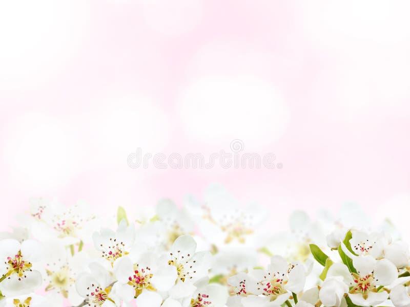 Bleka Apple vårblommor - rosa bakgrund royaltyfri foto