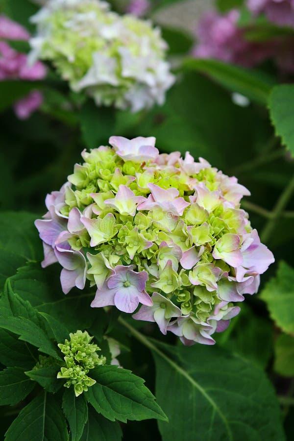 Bleke de knoppenuitbarsting van de lavendelhydrangea hortensia in bloei amid weelderig groen gebladerte stock fotografie