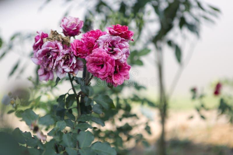 Blekna och nya röda rosblommor royaltyfria bilder