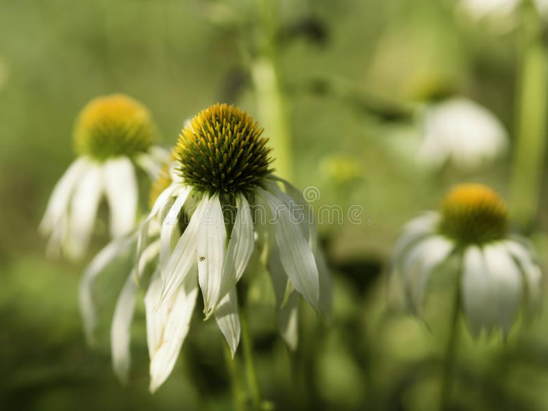 Blekna skönhet, vita coneflowers i en höstträdgård royaltyfria foton