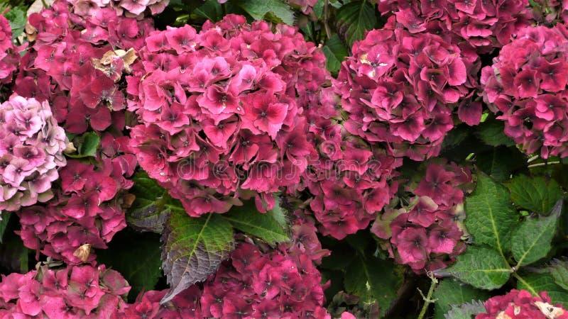 Blekna vanlig hortensiablom royaltyfri fotografi