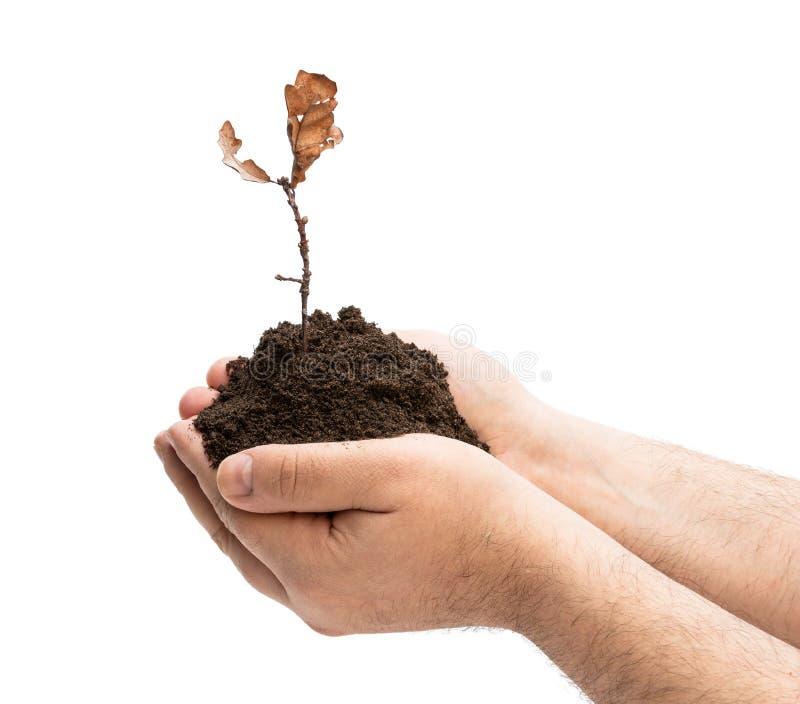 Bleknad trädväxt i manhänder som isoleras på vit Brist av omsorgbegreppet arkivfoto