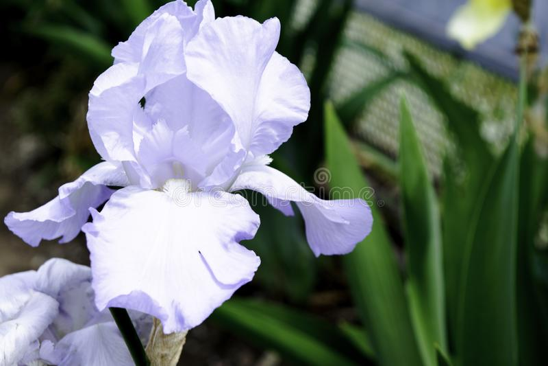 Blekt - bl? irisblomma som blommar i en tr?dg?rd i v?r royaltyfri fotografi