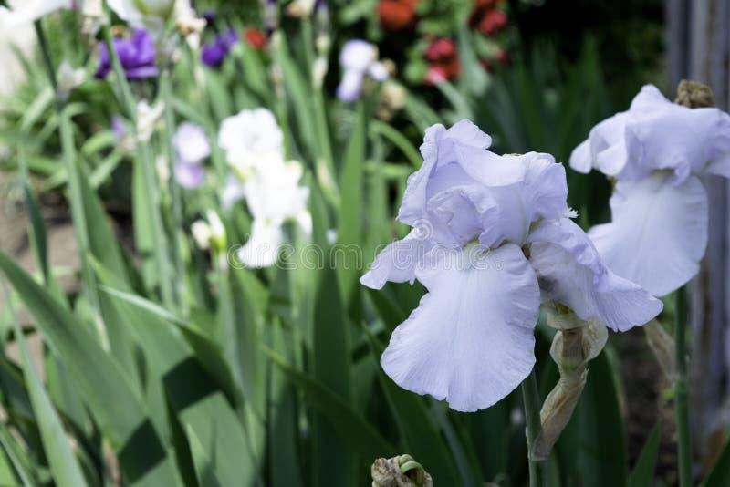 Blekt - bl? irisblomma som blommar i en tr?dg?rd i v?r arkivfoto