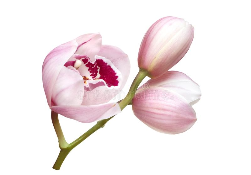 Blekt - rosa orkid?blommor som isoleras p? vit bakgrund arkivfoto