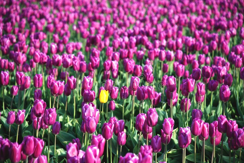 Download Blending in with the pink stock image. Image of tulips - 2324333