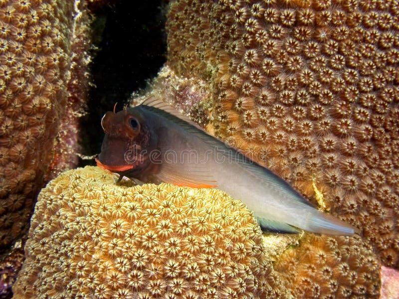 Blenny de Redlip (atlanticus de Ophioblrnnius) foto de archivo libre de regalías