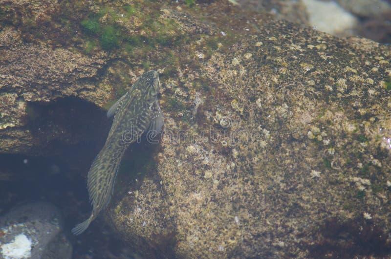 blenny de Roche-piscine dans la zone intertidale image libre de droits