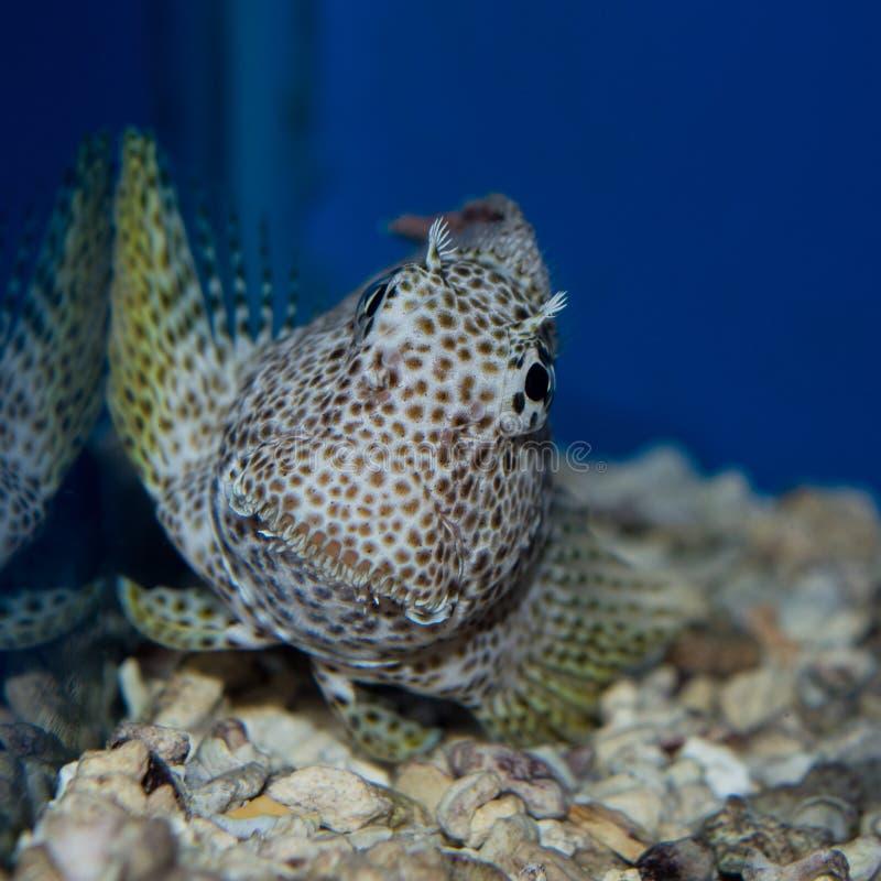 Blenny del leopardo - exallias brevis fotografia stock libera da diritti